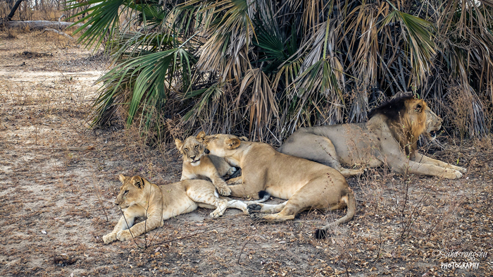 lions-in-selous