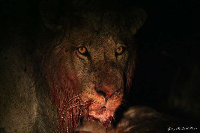The blood soaked face of one of the males after he opened up the carcass, adding to the dramatic scene.