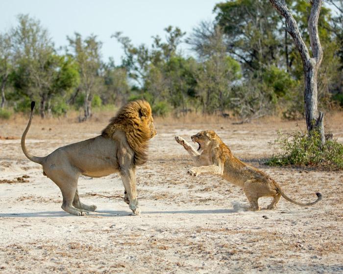 male-attacking-cub-in-mala-mala