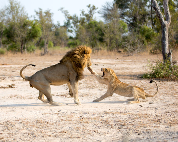 male-lion-attacking-young-female