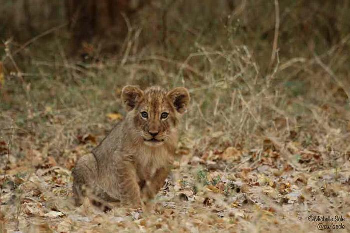 mana-pools-Lion-cub