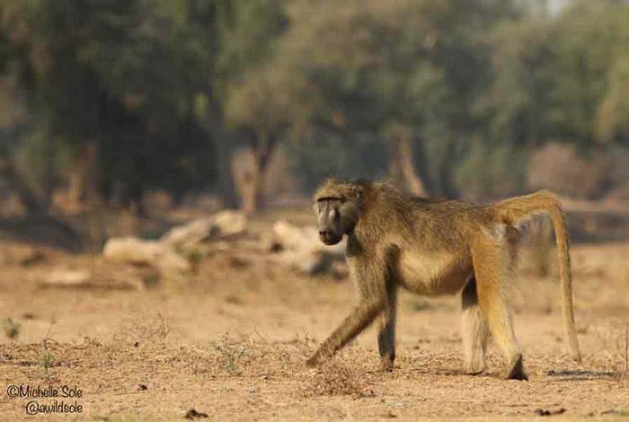 mana-pools-baboon