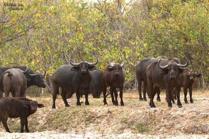 mana-pools-buffalo