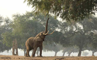 mana-pools-elephant-feeding