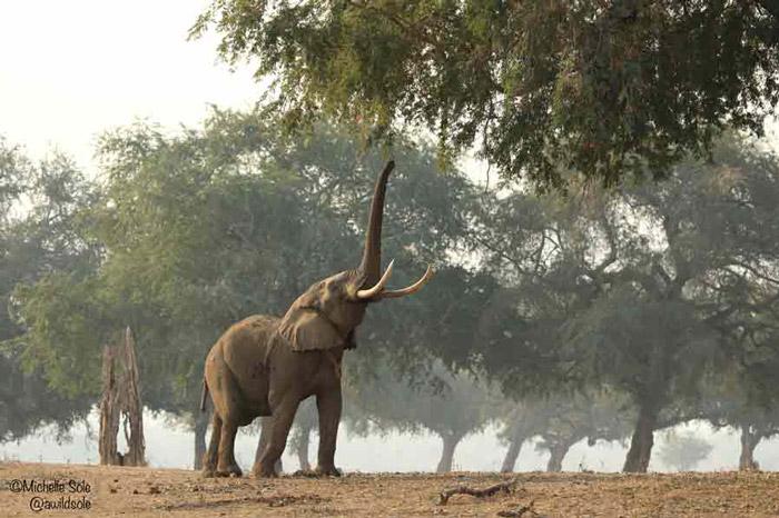 mana-pools-elephant-feeding