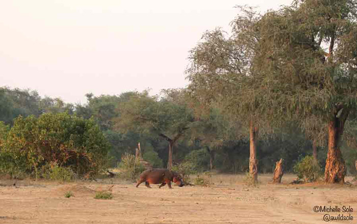 mana-pools-hippo-out-of-the-water