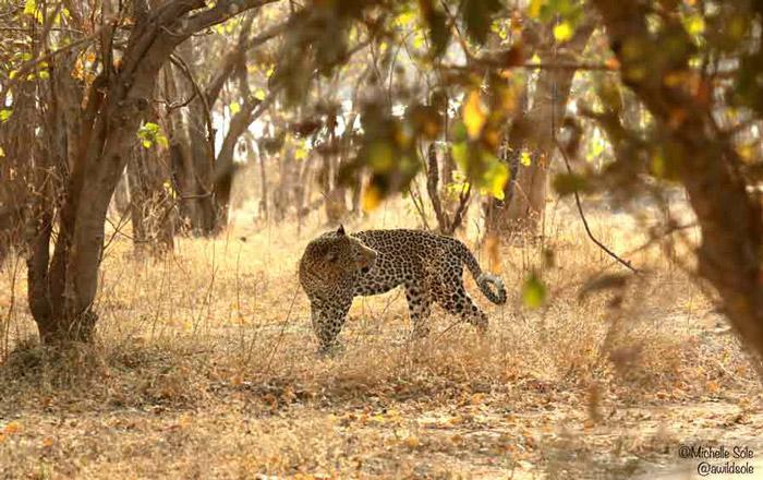 mana-pools-leopard