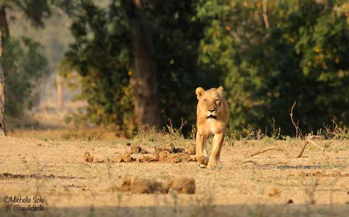 mana-pools-lioness-walking