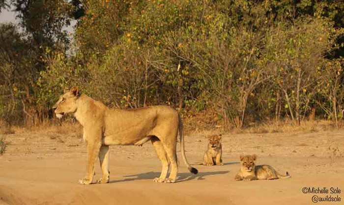 mana-pools-lioness-with-cubs