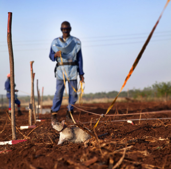 maputo-rats-sniffing-out-landmines