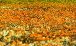 namaqualand-daisies-hawk-photography