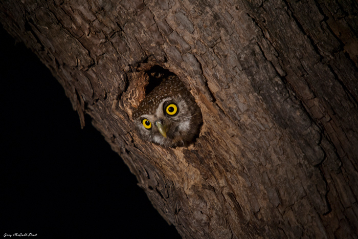 A pearl-spotted owl peers out of its nesting hole before it sets out on a nightly foray for a meal.