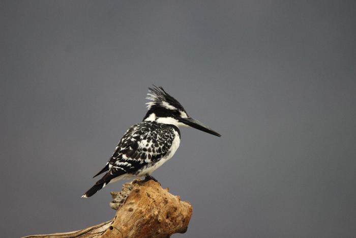 pied-kingfisher-zimanga