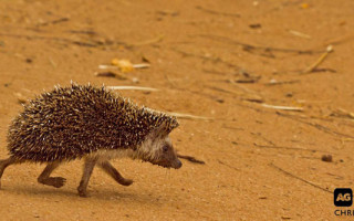 pygmy-hedgehog