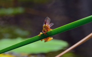 reed-frog-eating-dragonfly