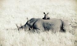rhino-calf-with-mom