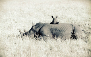 rhino-calf-with-mom