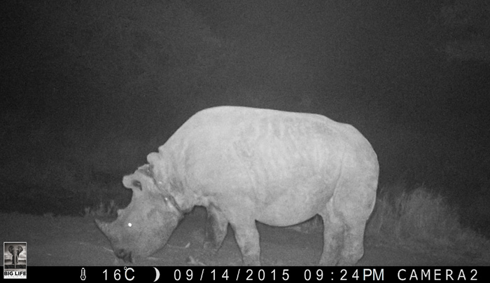 Bahati was captured by a camera trap, the snare visible around his neck