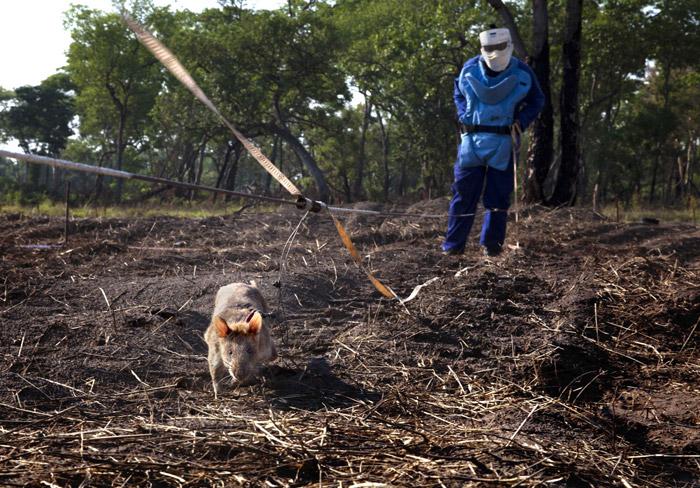 sniffer-rat-mozambique