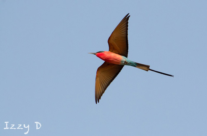 southern-carmine-bee-eater-inflight-zambia