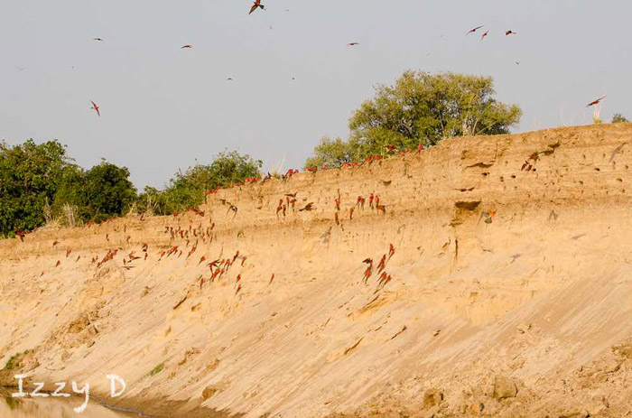 southern-carmine-bee-eater-riverbank-zambia