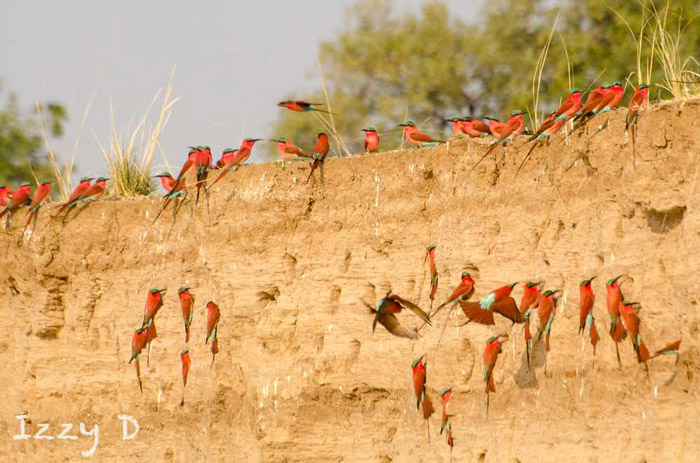southern-carmine-bee-eaters-in-south-luangwa