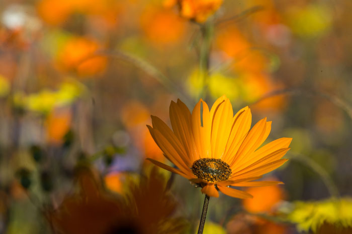 spring-flowers-namaqualand