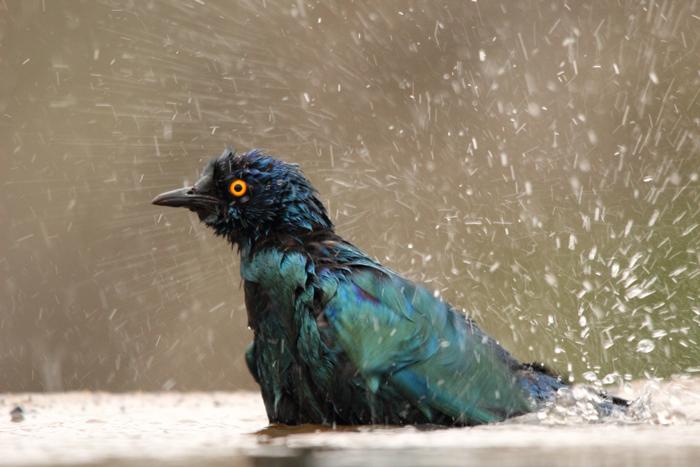 starling-zimanga