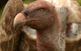 vulture-matembezi