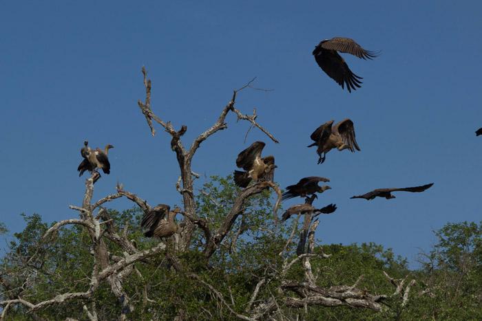 vultures-zululand