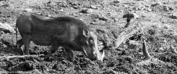 warthog-madikwe