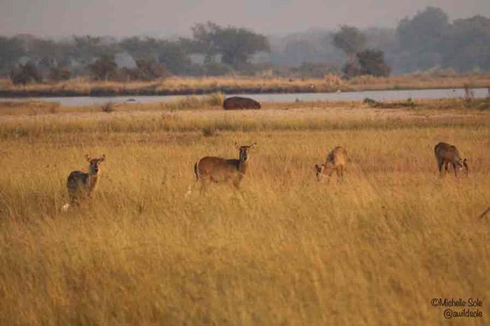 waterbuck-zimbabwe