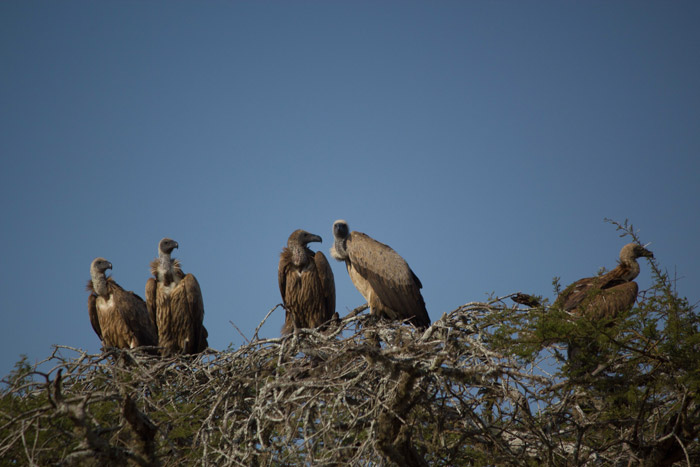 white-backed-vultures-roosting