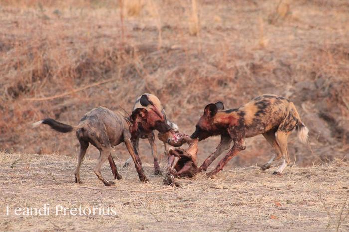 wild-dog-carcass