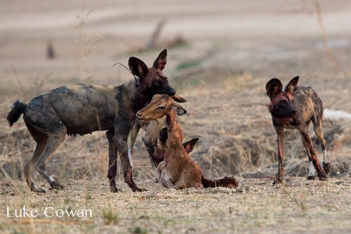 wild-dog-impala-head