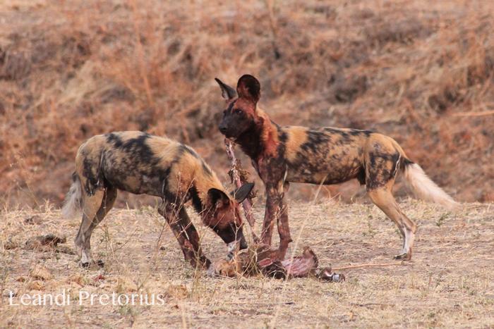 wild-dog-kafunta-safaris