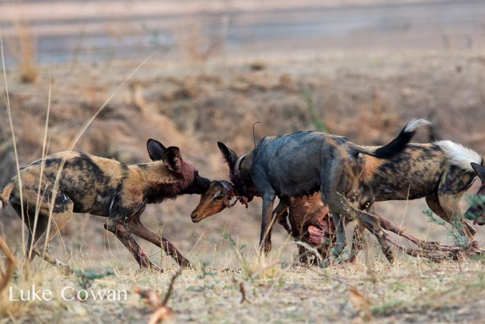 wild-dog-pach-impala-kill