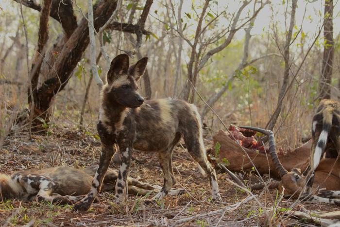 wild-dog-zimanga