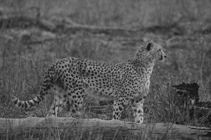 zimanga-cheetah