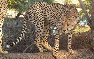 Legolas-cheetah