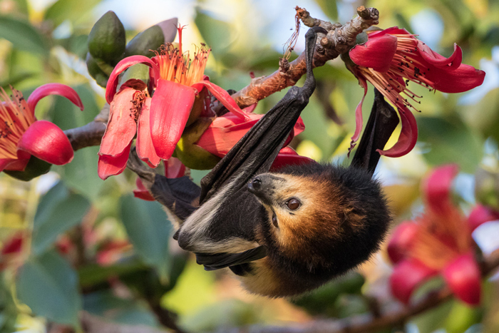 18 000 Mauritian Flying Foxes To Cull Or To Treasure