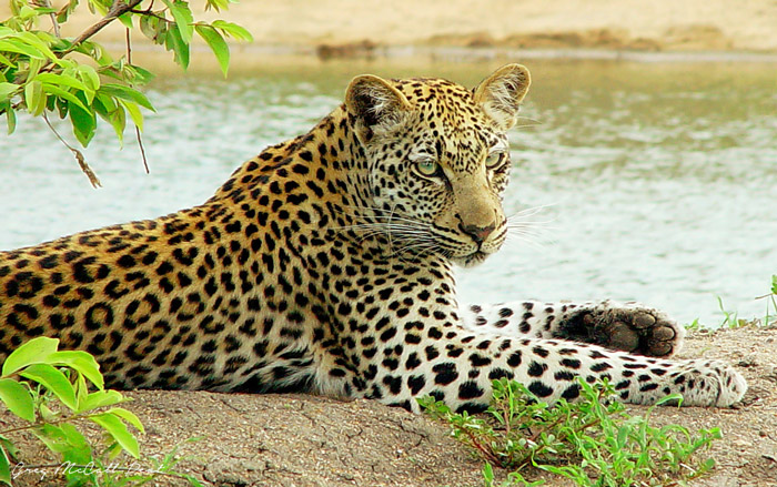 Like I said, a model leopard. She has always known how to pose for photos. This was taken once she had become independent and was exploring potential territory. She chose to rest on the bank of a waterhole.