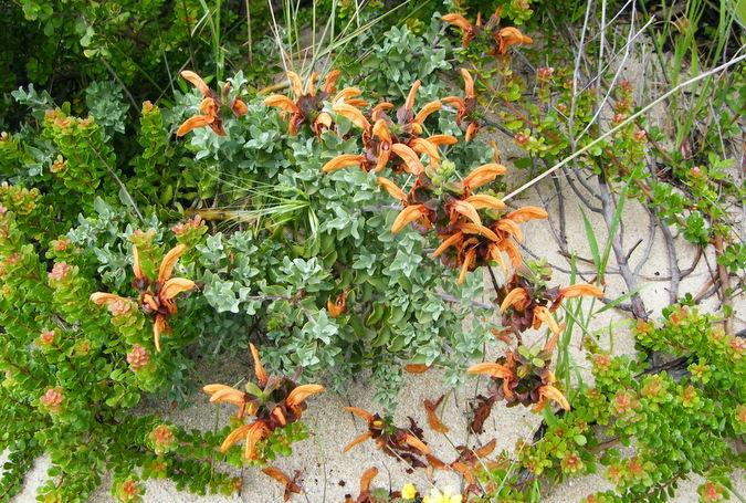Salvia africana lutea