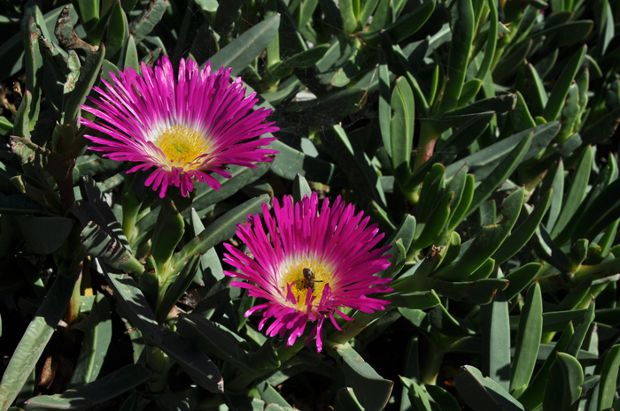 The succulent sour fig (Carpobrotus deliciosus) © Alice Notten