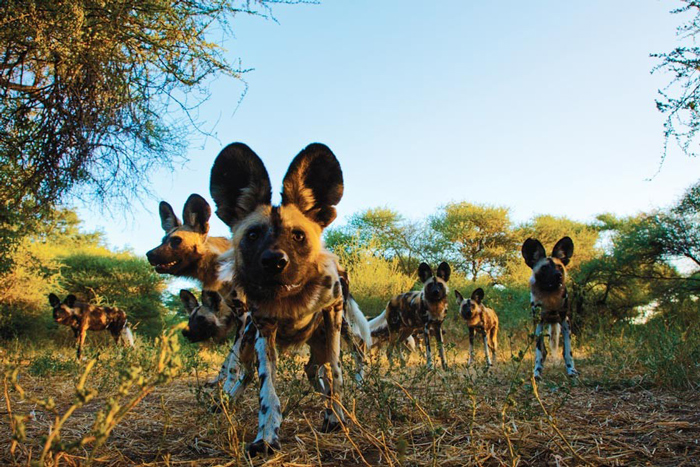 African Wild Dog Scientific Name