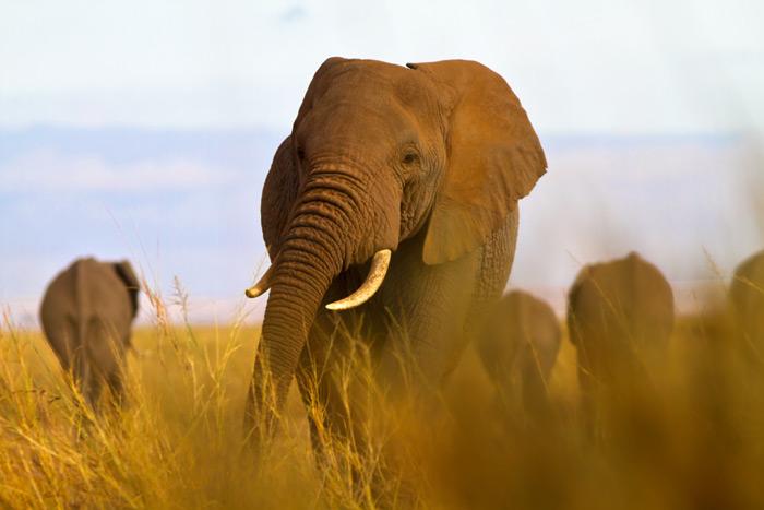 big-five-african-tusker