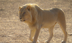 One of the three male lions strolling along the riverbed