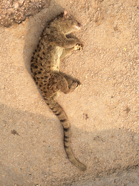 3. An African palm civet (Nandinia binotata) found in a vehicle heading south to Brazzaville.