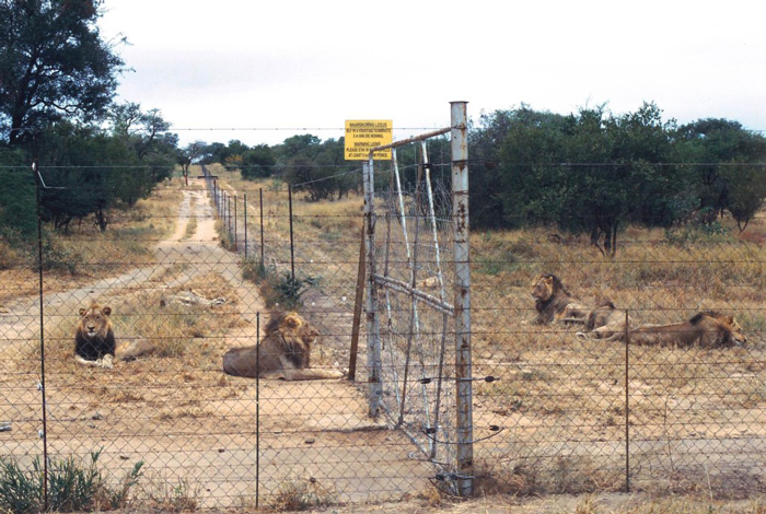 Caged lions on a reserve