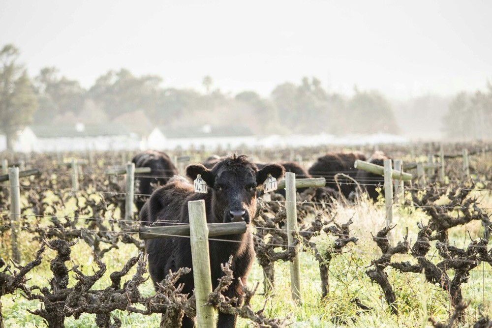 cattle-amongst-the-vines
